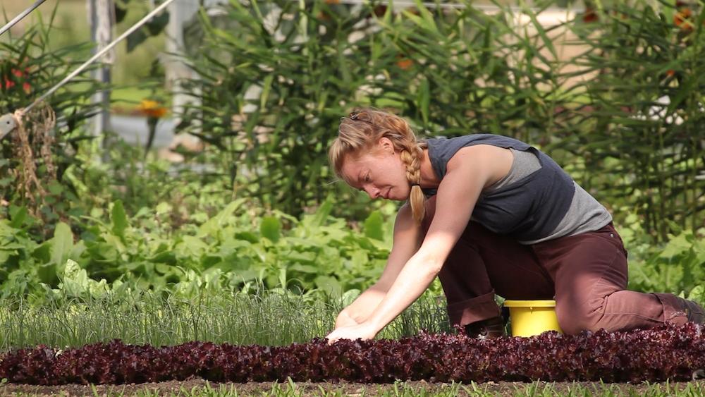 harvest-lettuce