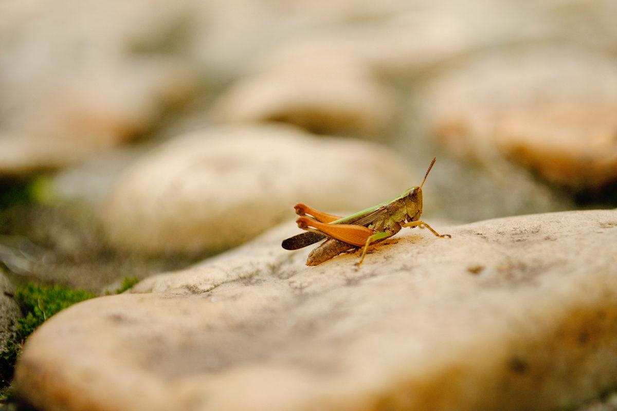 crickets